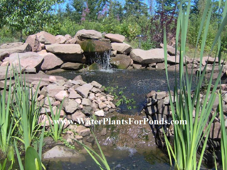 How to filter your goldfish pond naturally with water for Water filtering plants for ponds