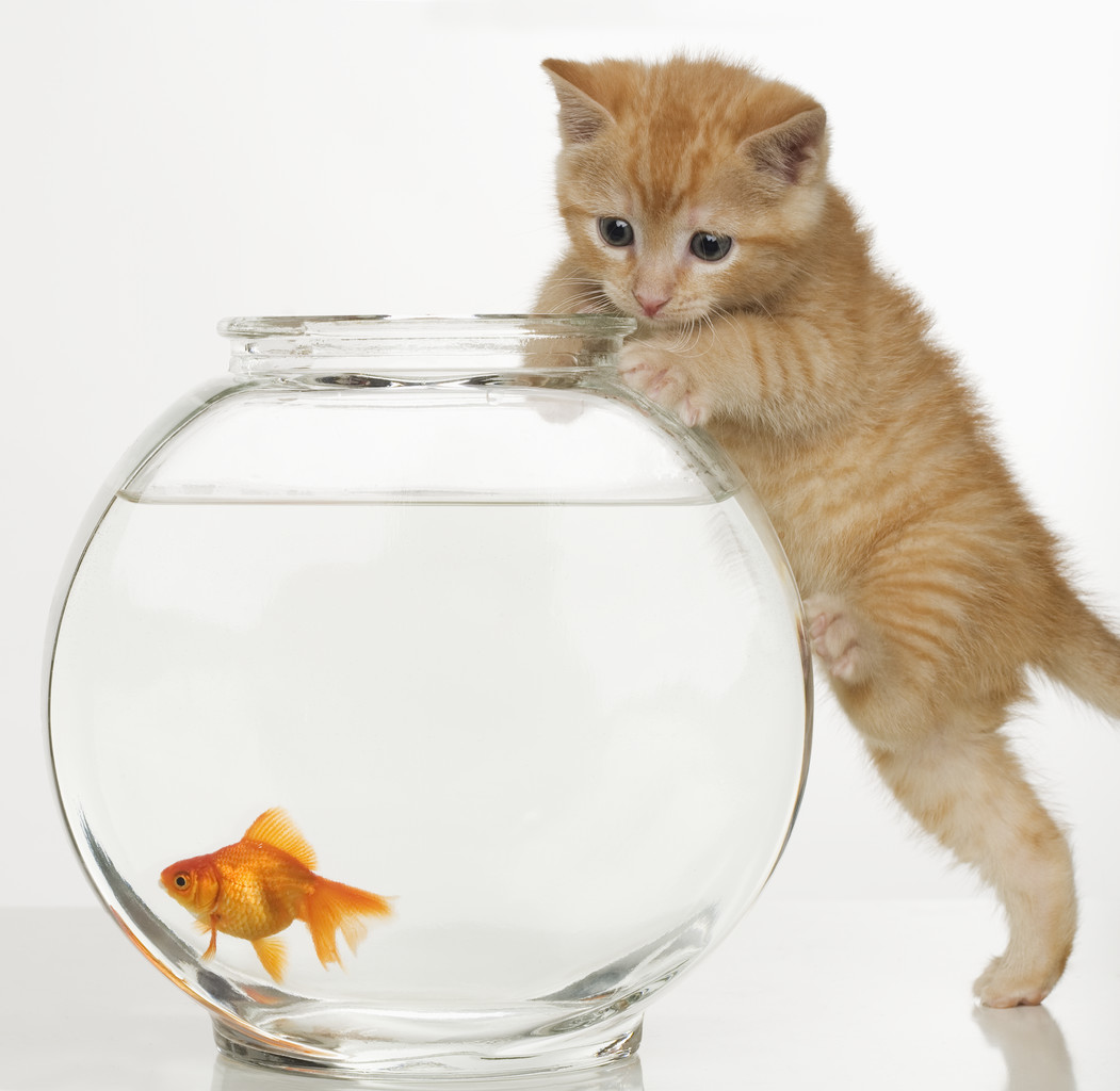 do cats eat goldfish how to stop cats from eating