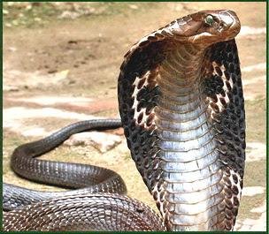http://4.bp.blogspot.com/_fVtcnir-XXA/RqbxB14gCRI/AAAAAAAAACI/vjwVX31Cqbo/s400/king-cobra-india.jpg