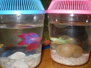 foto ikan laga - gambar hewan