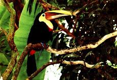 Tucán bicolor, Costa Rica