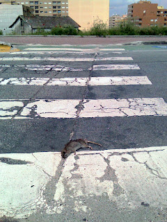 Dead rat on Crosswalk