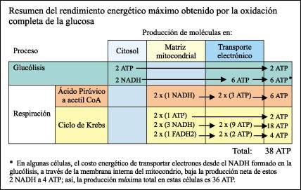 Ecuacion de la fotosintesis y respiracion celular 11