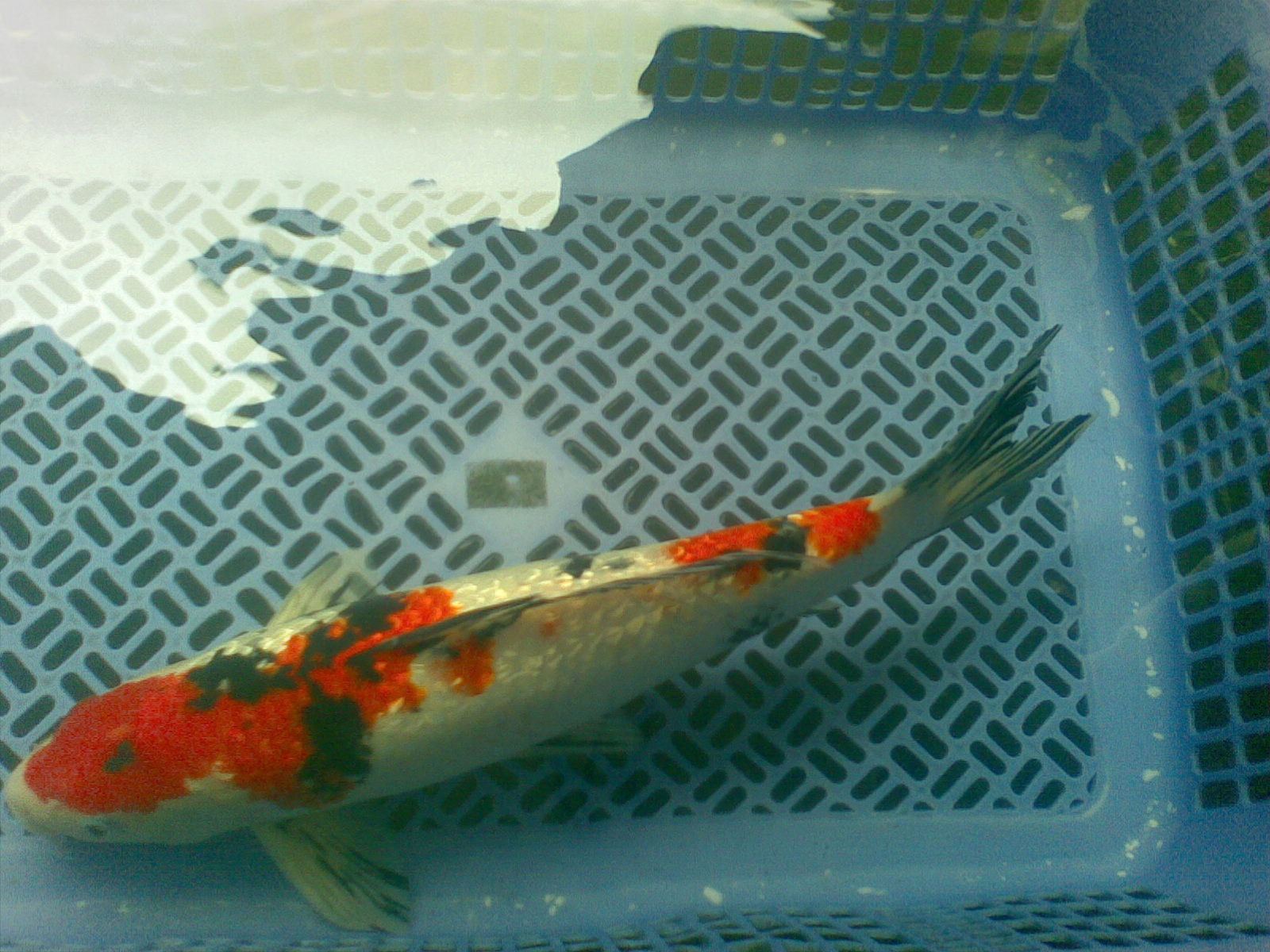 Kozi koi sanke gin rin for sale sold out for Sanke koi for sale