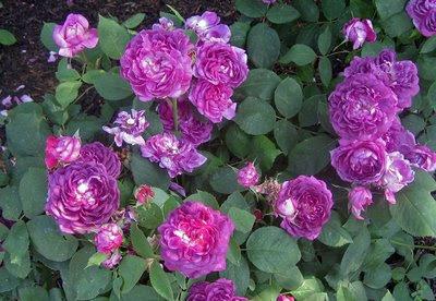 http://4.bp.blogspot.com/_fYAl0hXFNj0/SkrliVu-yaI/AAAAAAAAAog/qCmjjLStc50/s400/RoseRennieDesViolets.jpg