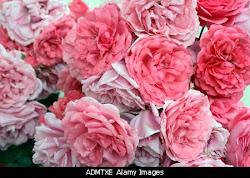 Rosas de David Austen, claro!