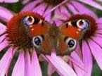 Buckeye Butterfly on Echinecea