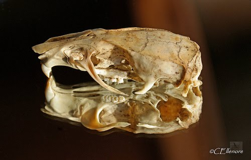 rat skull.a easy skull to get and many things that can be done with it.