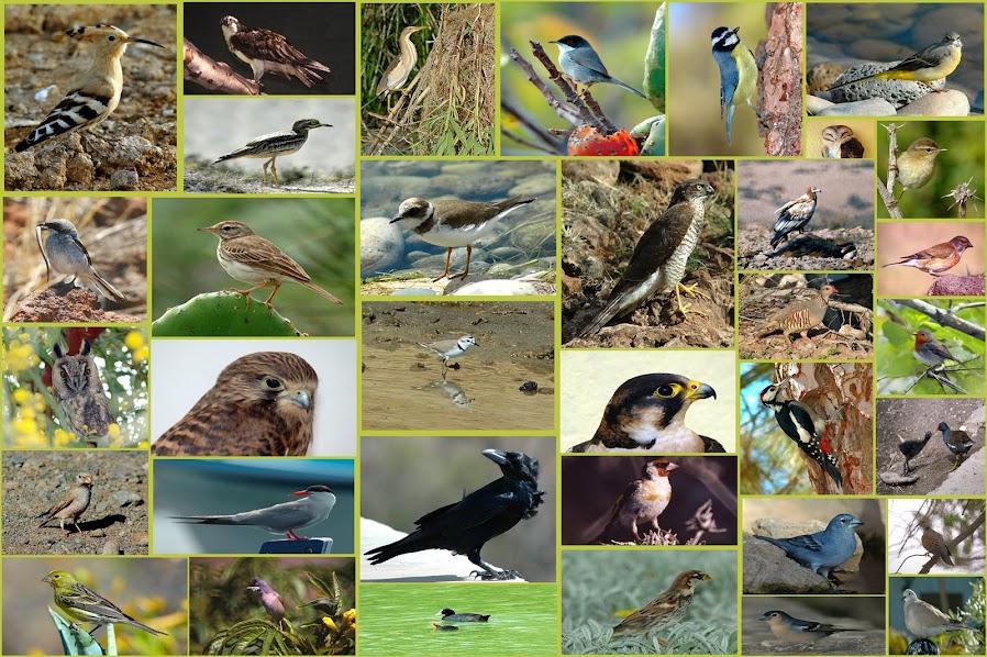 AVIFAUNA CANARIA @ canary bird