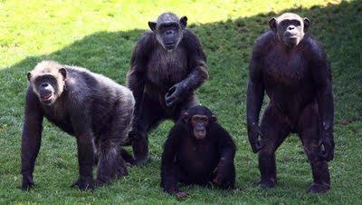 semen chimpance