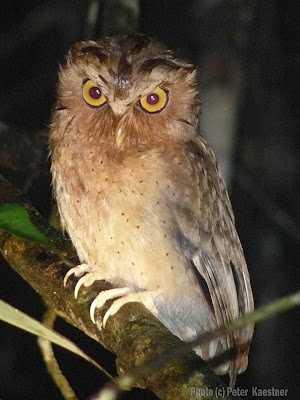 Serendib Scop Owl photographed by Peter Kaestner, Sep, 2007