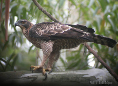 Mountain Hawk Eagle - 16 Oct, 2006