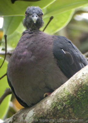 A Sri Lanka Wood Pigeon immature in Sinharaja rain forest - 20, March, 2008