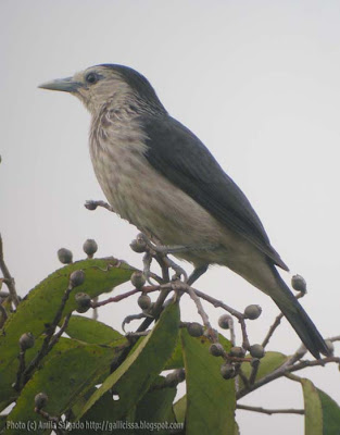 White-faced Starling in Sinharaja rain forest on a Bombu tree - 23 March, 2008