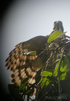 Crested Goshawk - basking