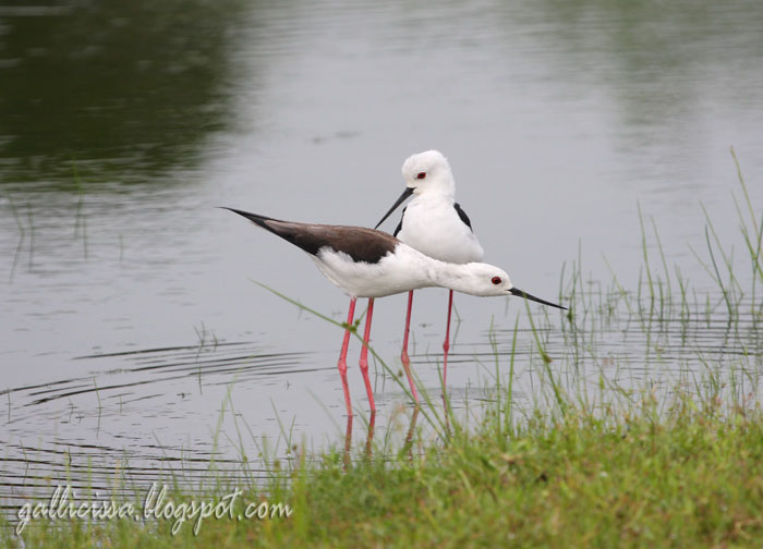 Black-winged Stilt mating sequence-1