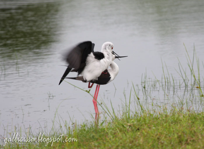 Black-winged Stilt mating sequence-6