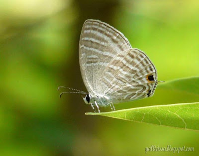 Common Cerulean at my home garden