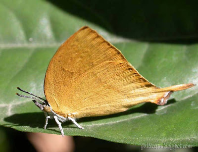 Yamfly at my home garden