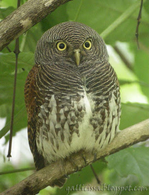 Welcome to I and the Bird #75! - Chestnut-backed Owlet - Kithulgala, Sri Lanka