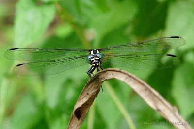 Sri Lanka Forktail anterior view showing venation clearly, photographed with no flash, Bomiriya, Kaduwela