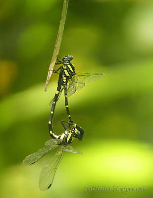 Sri Lanka Forktail in tandem position -24, May, 2008 Bomiriya, Kaduwela. The female is on the bottom holding on to the male