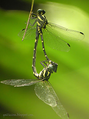 Sri Lanka Forktail in tandem position -24, May, 2008 Bomiriya, Kaduwela