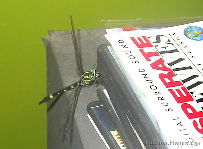 Sri Lanka Forktail - female on the DVDs of the epic adventures of the tireless women in the Visteria Lane