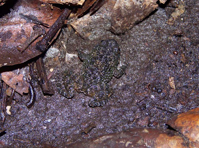 Sri Lanka Rock Frog