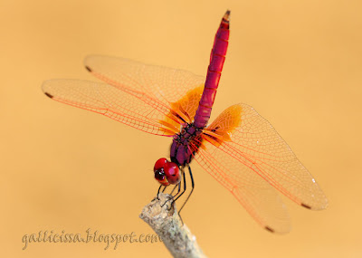 Dawn Dropwing male