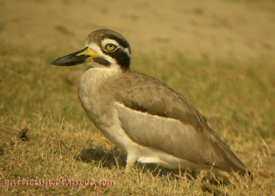 Great Thick-knee on its knees