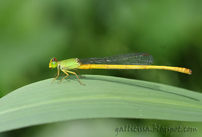 Yellow Waxtail Ceriagrion coromandelianum