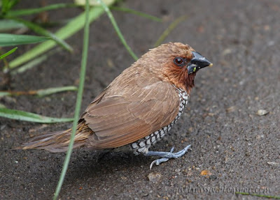 Scaly-bellied Munia