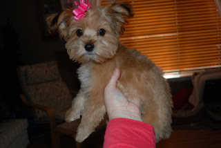 Shorkie Puppies Shorkie Haircut Montana S New Do