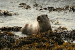 Shetland Mammal Photos (click photo)