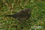 Lanceolated Warbler (click photo)