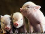 Pot belly pigs picture