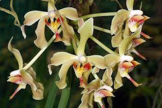 Paraphalaenopsis Denevei Orchid, Anggrek Cantik, Tanaman Langka, Bunga Indah