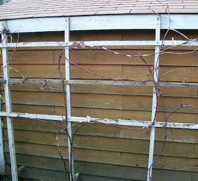 Grape vine on trellis