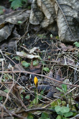 Single yellow crocus