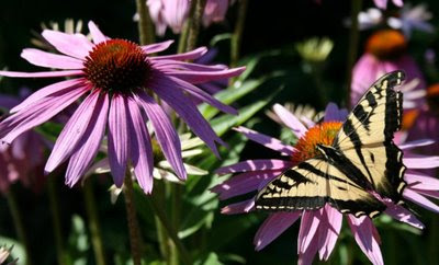 Swallowtail butterfly on Echinacea purpurea