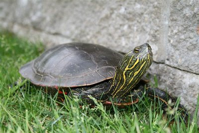 Painted turtle in the garden