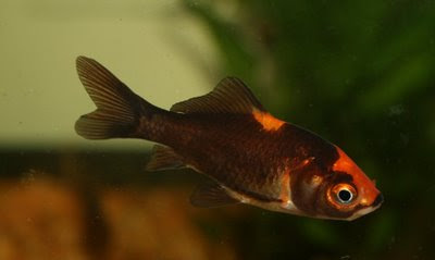 Black / orange goldfish