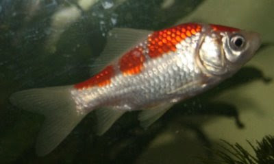 Goldfish white with orange bars