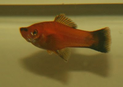 Female swordtail - orange with black tail