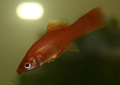 Female swordtail - skinny, likely after giving birth