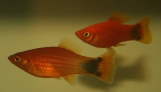 Pair of Mickey Mouse platy
