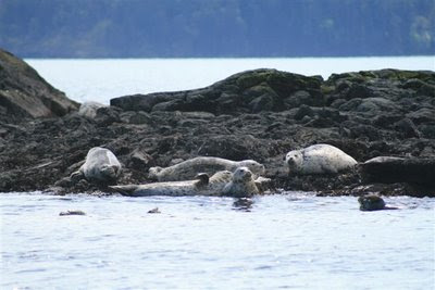 Harbour seal hangout
