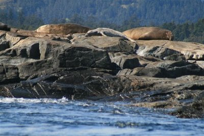 Sea lions on rocky shore