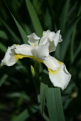 Beautiful white iris